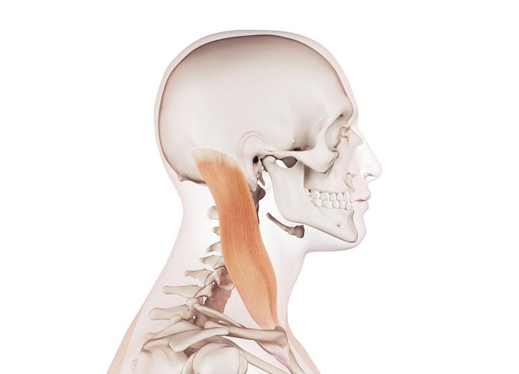 胸鎖乳突筋の構造