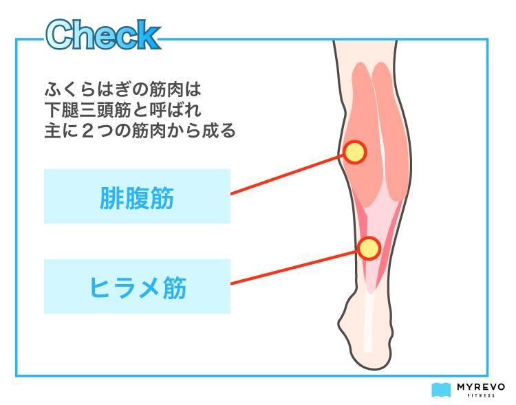 th_ふくらはぎの筋肉(下腿三頭筋・腓腹筋・ヒラメ筋)